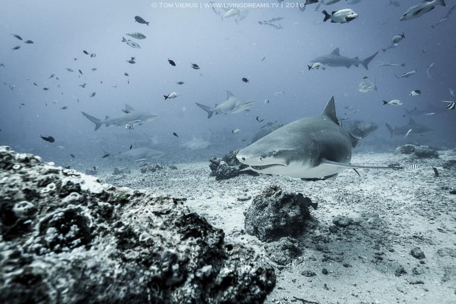 Sicklefin lemon shark among bulls