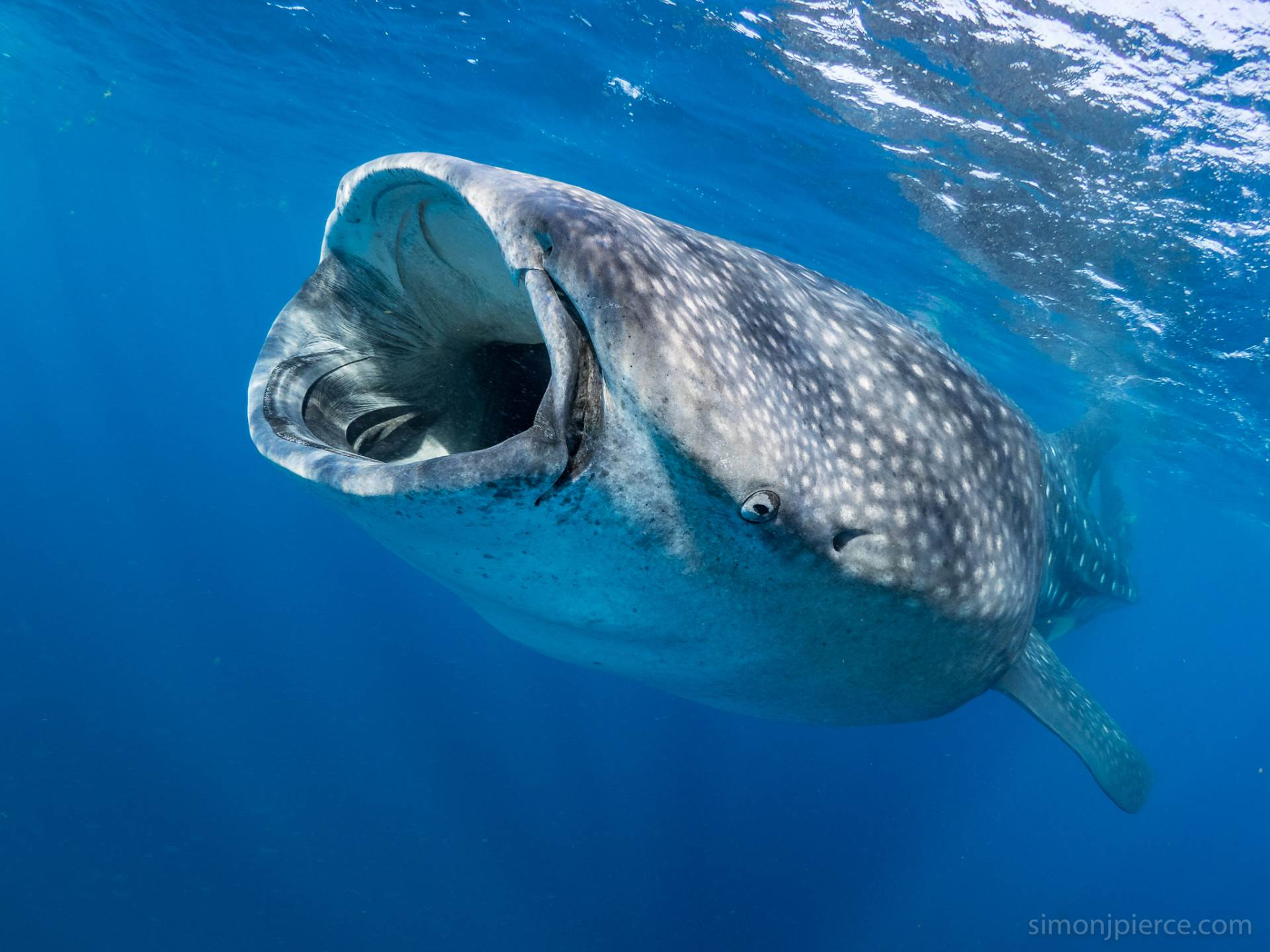 """My favourite fish! And the basis of my job :). Lovely clear blue water in the """"afuera"""" offshore whale shark area off Isla Mujeres in Mexico."""