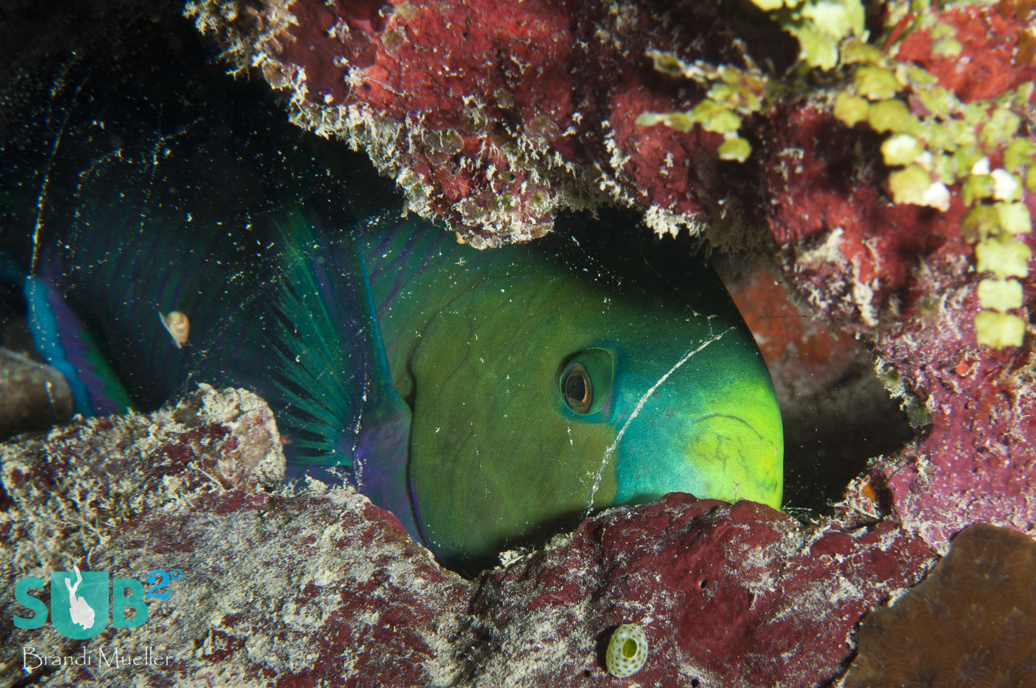 Tucked in for the night, this parrotfish has produced a mucus bubble around its body to protect it from predators during the night. The bubble hides its scent and will awaken the parrotfish if popped.