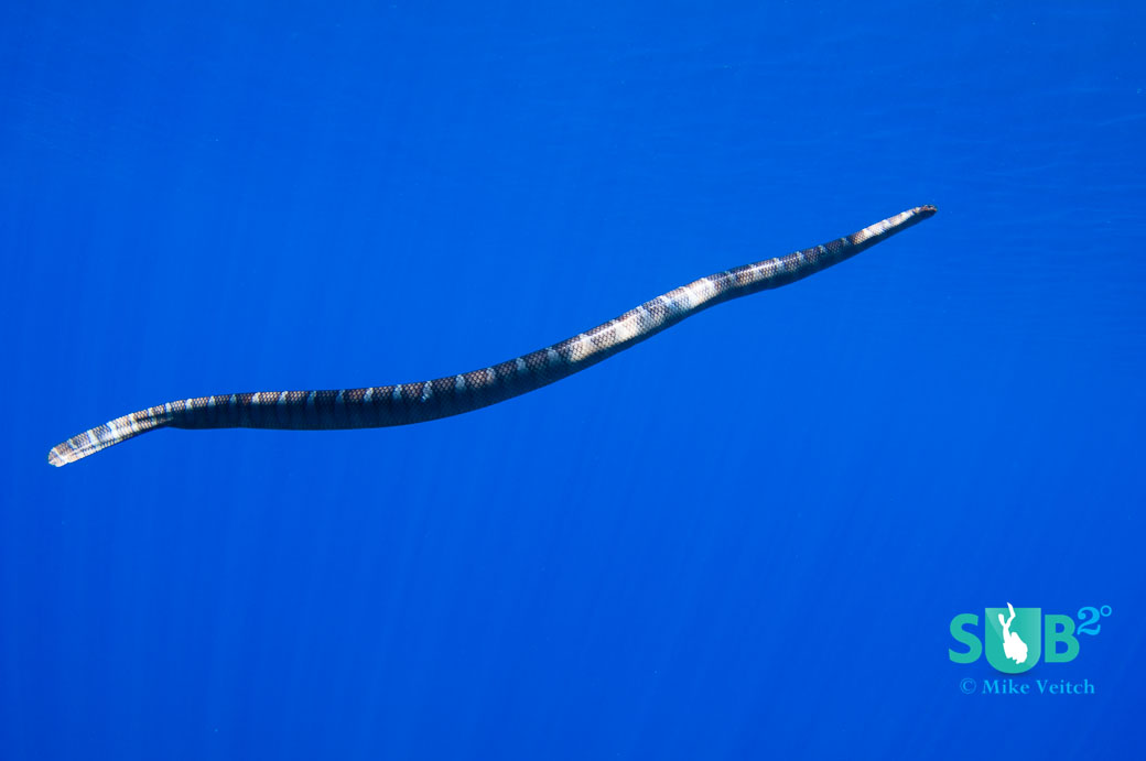 A sea krait (Laticauda semifasciata) swimming in the blue.