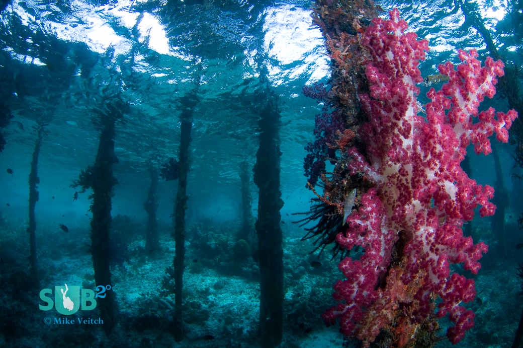 Soft coral grows on the pilings of a jetty (Arborek Pier, Raja Ampat).