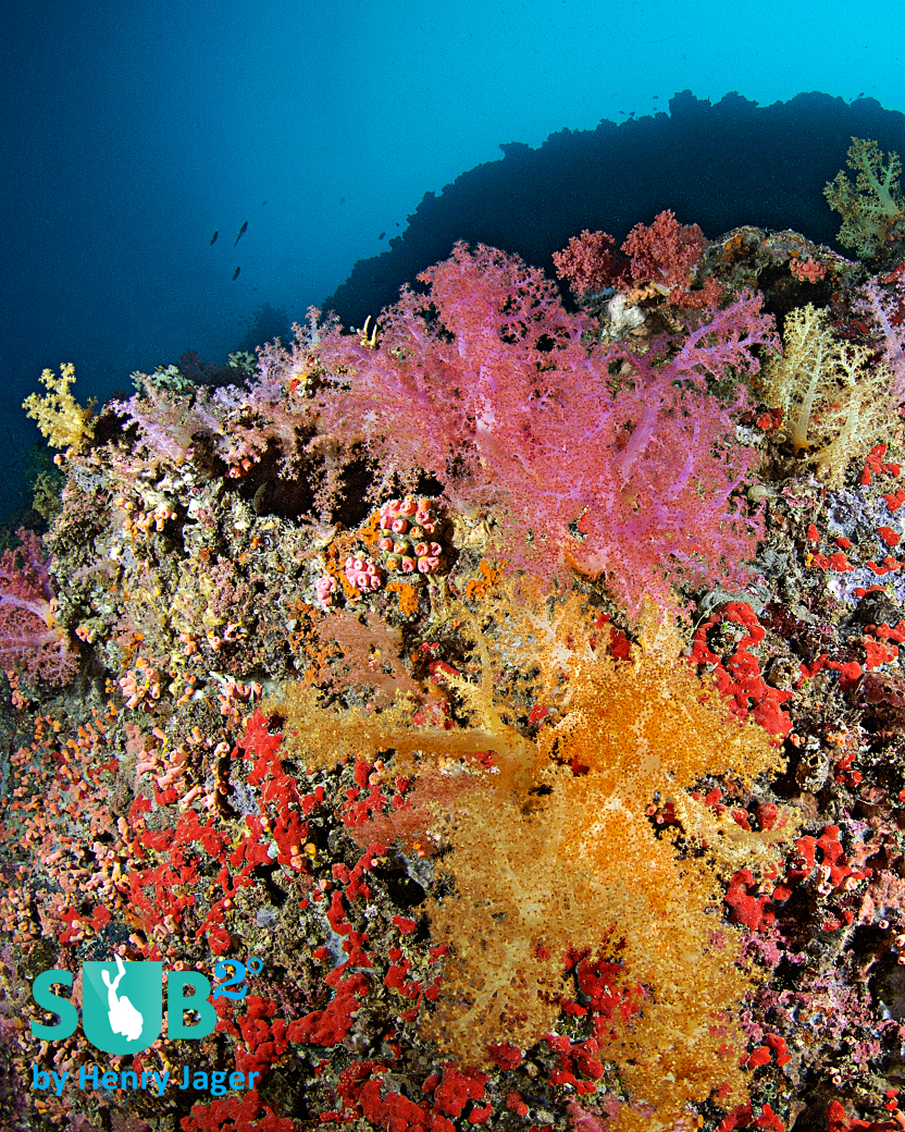Diving the soft coral wall means enjoying the colorful scenery as well as looking for small critters, this region is famous for.
