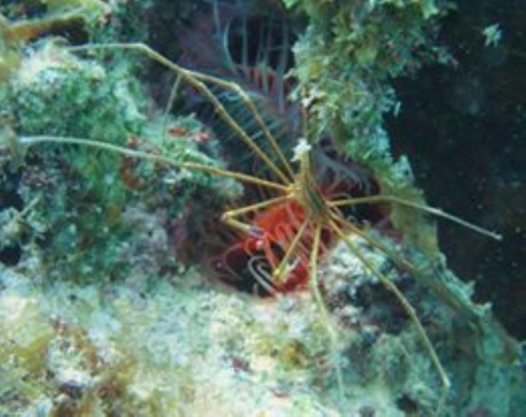 Spider or Arrow crab