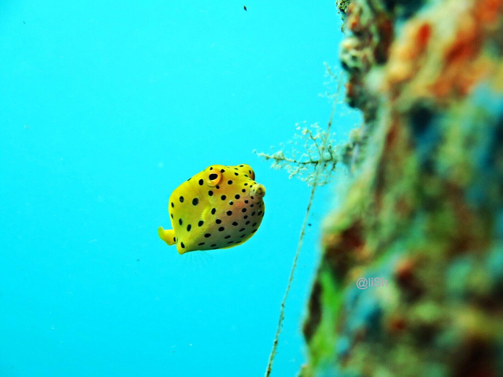 Spotted Yellow Boxfish