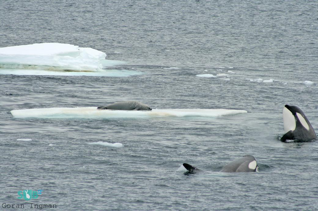 A pair of Killer whales preparing to attack a seal on an ice floe.