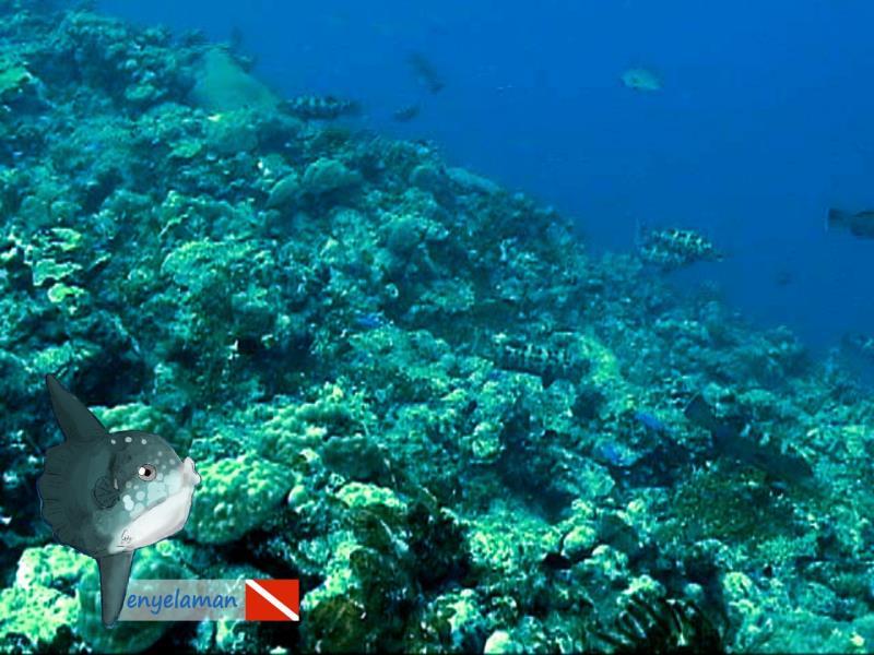 Square-tail Coral Grouper