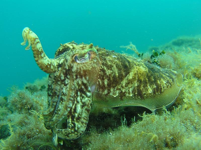squid found in the waters around Hvar