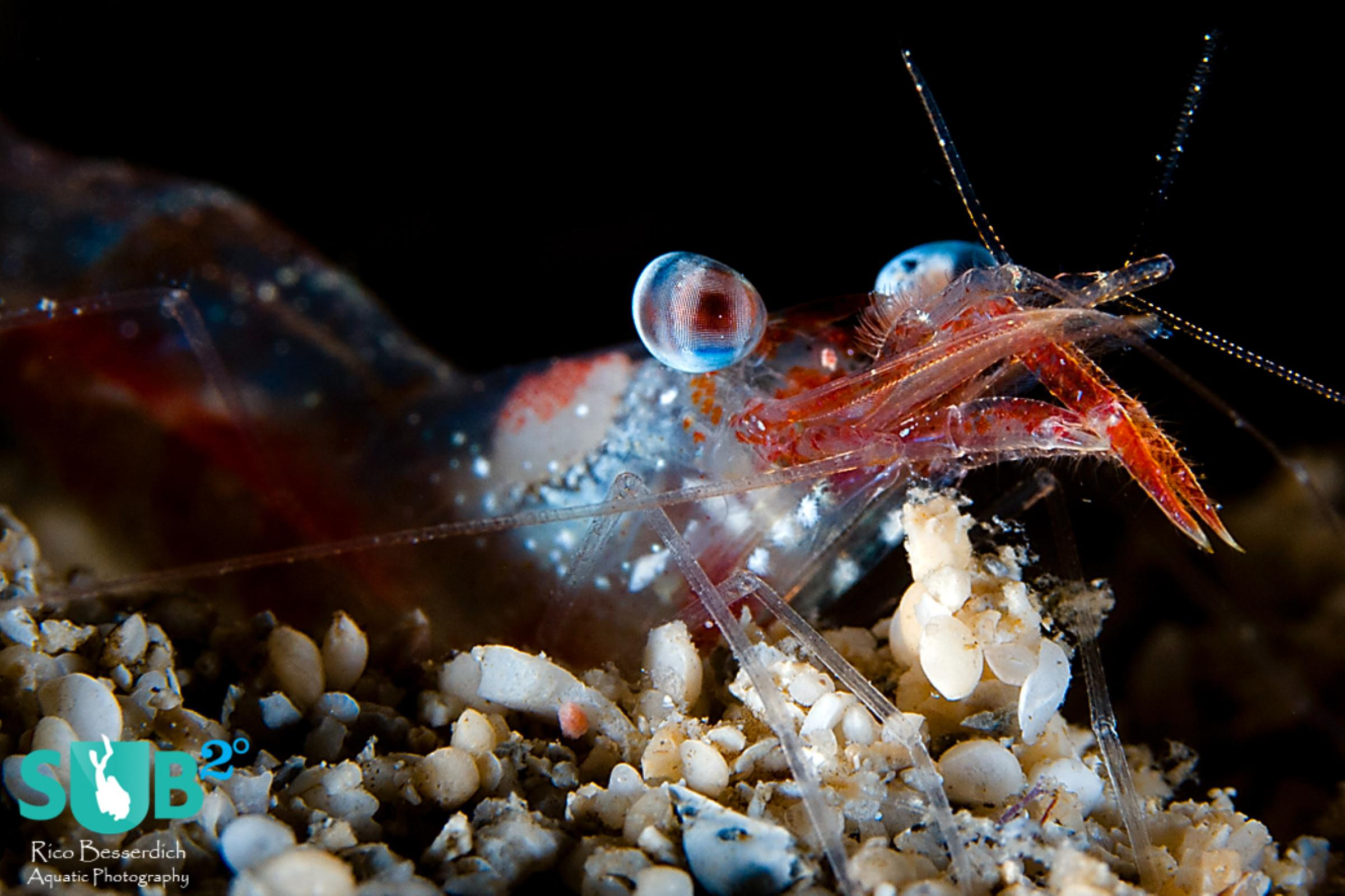 Shrimps are sometimes nervous small buddies that need quite the patience to achieve a proper photograph.