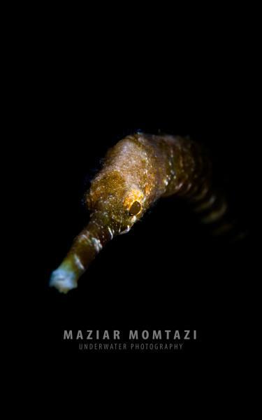 Stick Pipefish