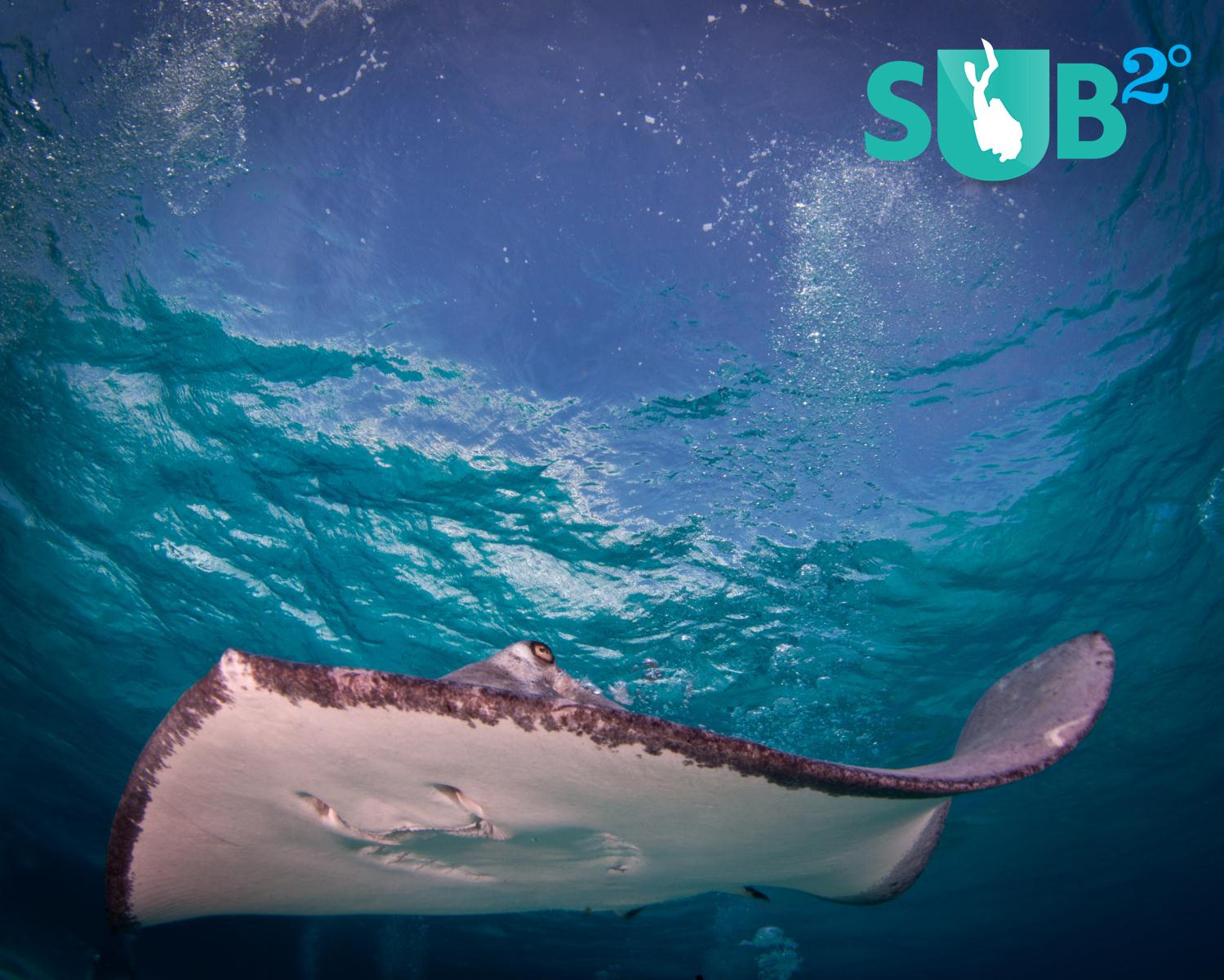 Stingrays are abundant in the shallow waters off Grand Cayman Island