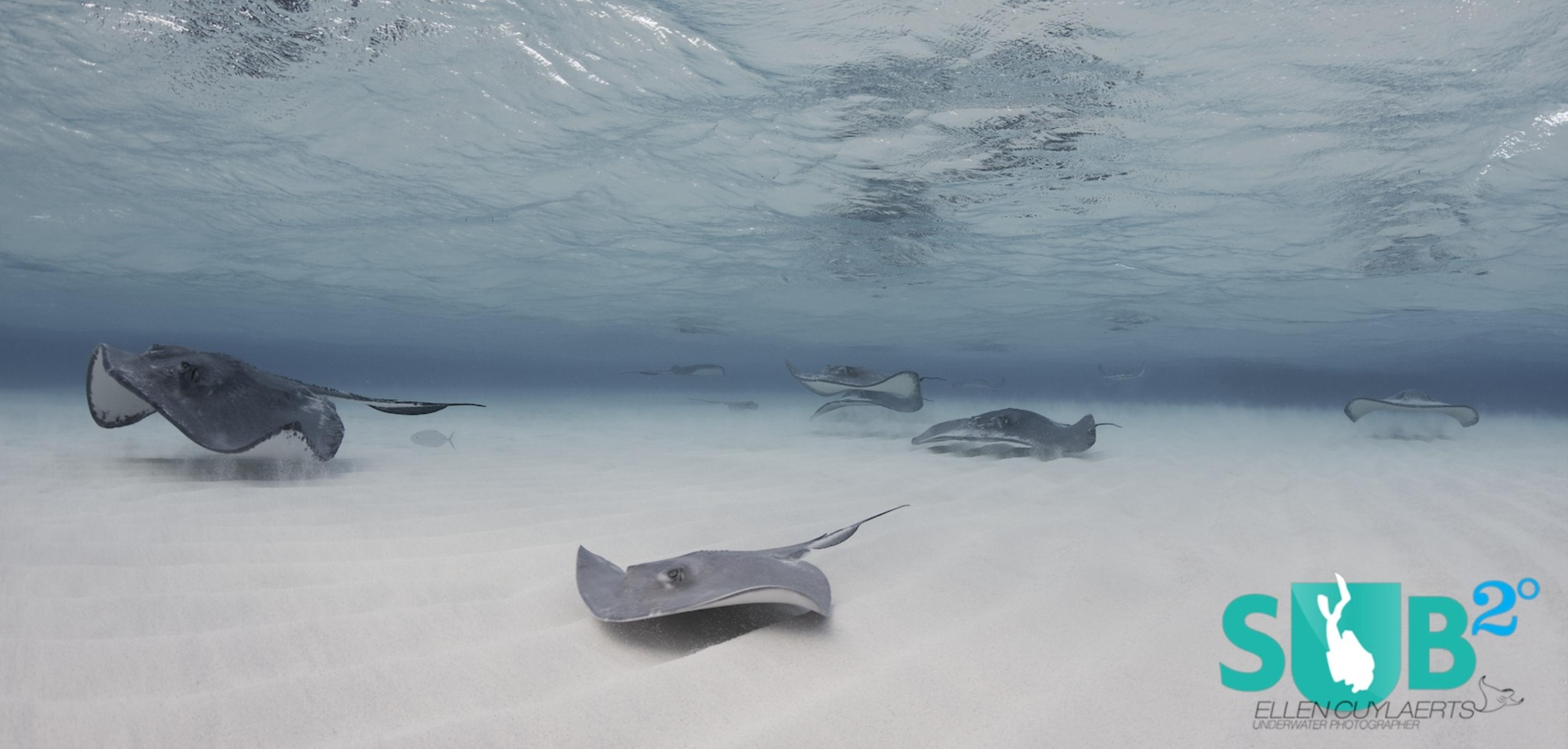 Stingrays at dawn