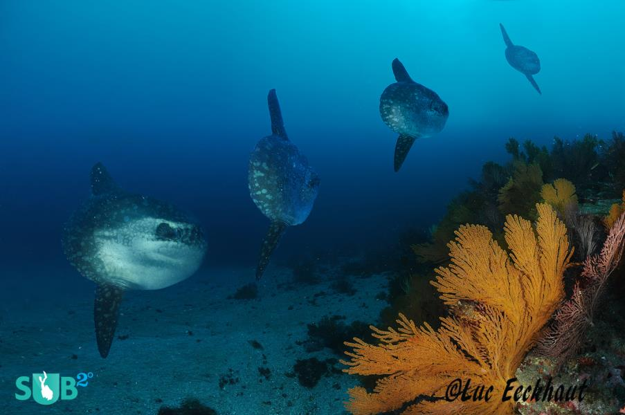 Sunfish everywhere!