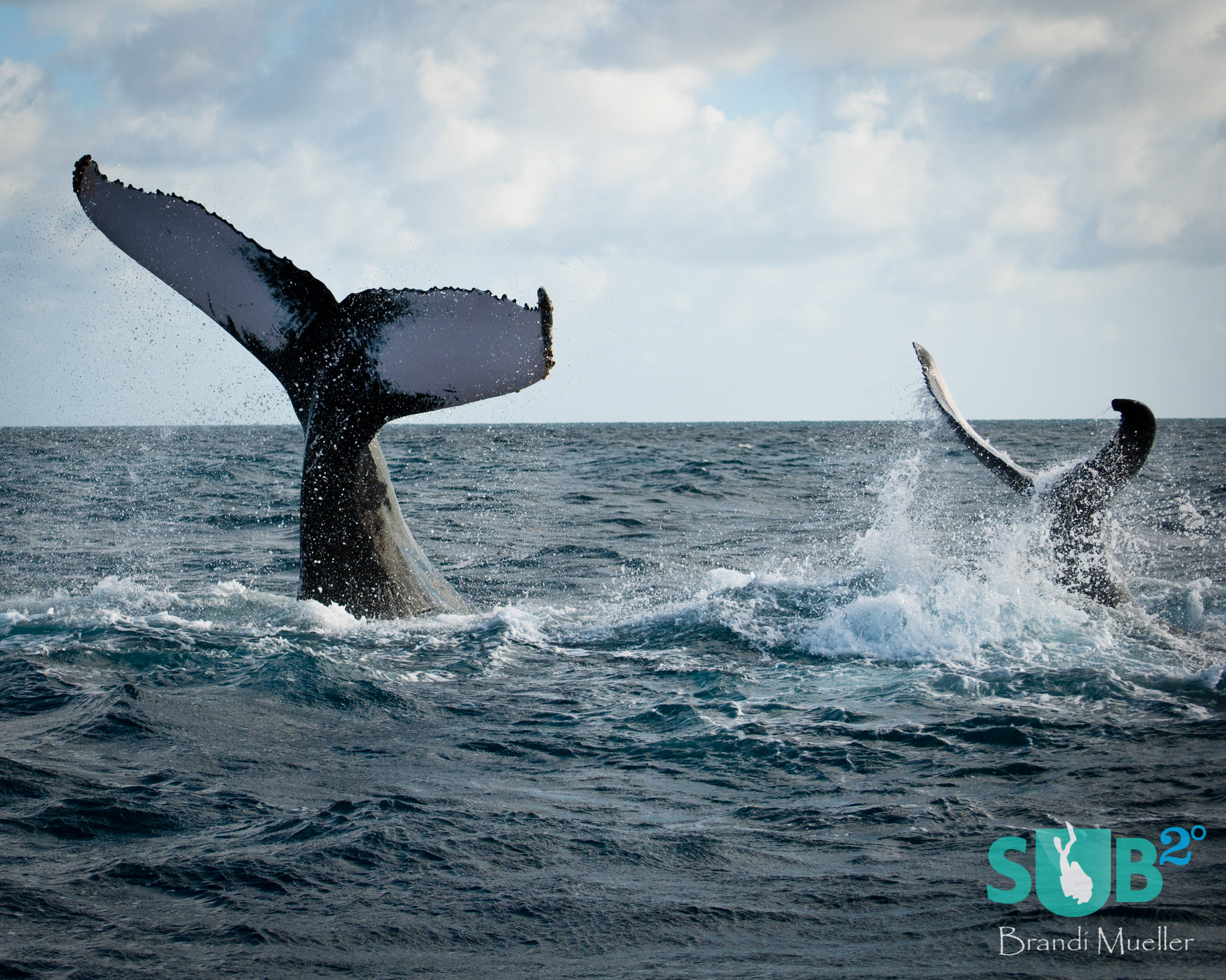 A mother humpback whale shows her calf how to tail slap and the calf practices alongside.