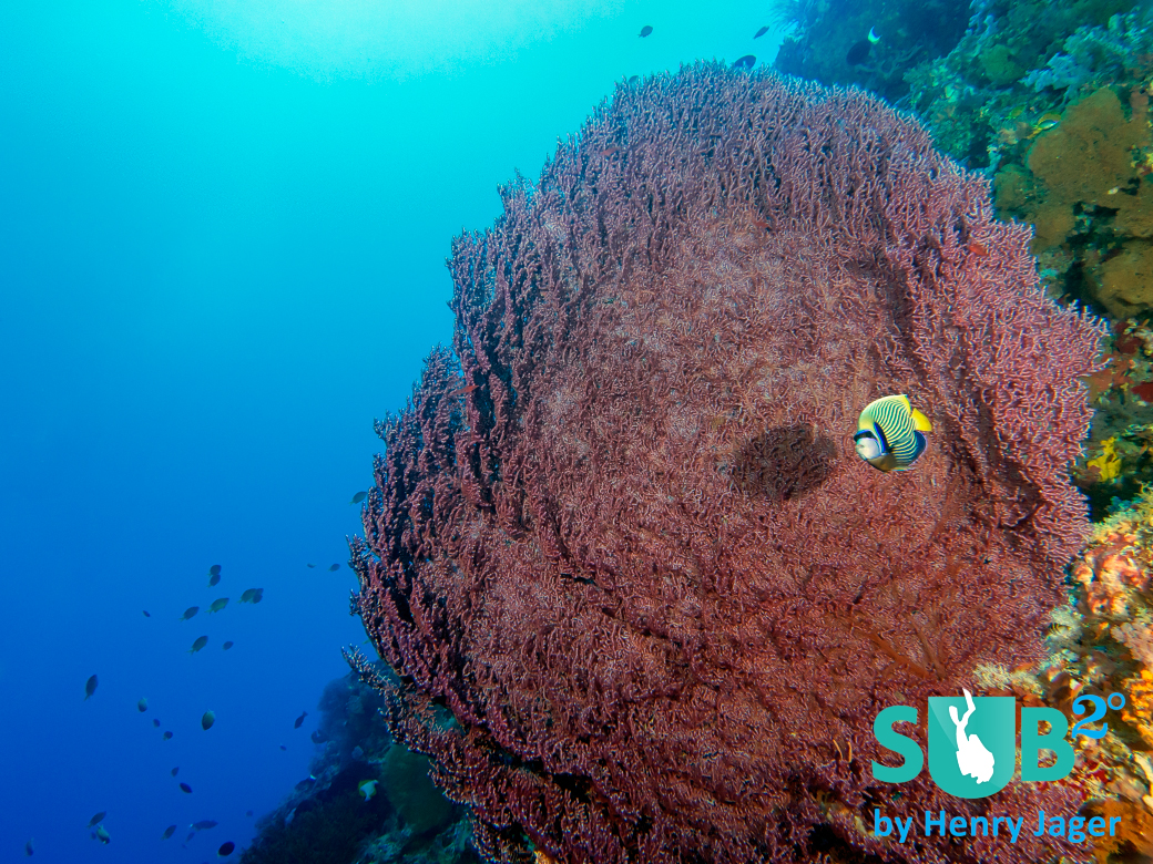 "At ""Mabuti"", beautiful large corals grow in depths of about 40m."