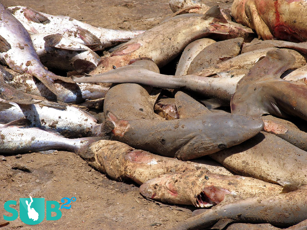 Dead sharks lie on the beach in Senegal, after having their fins cut off.