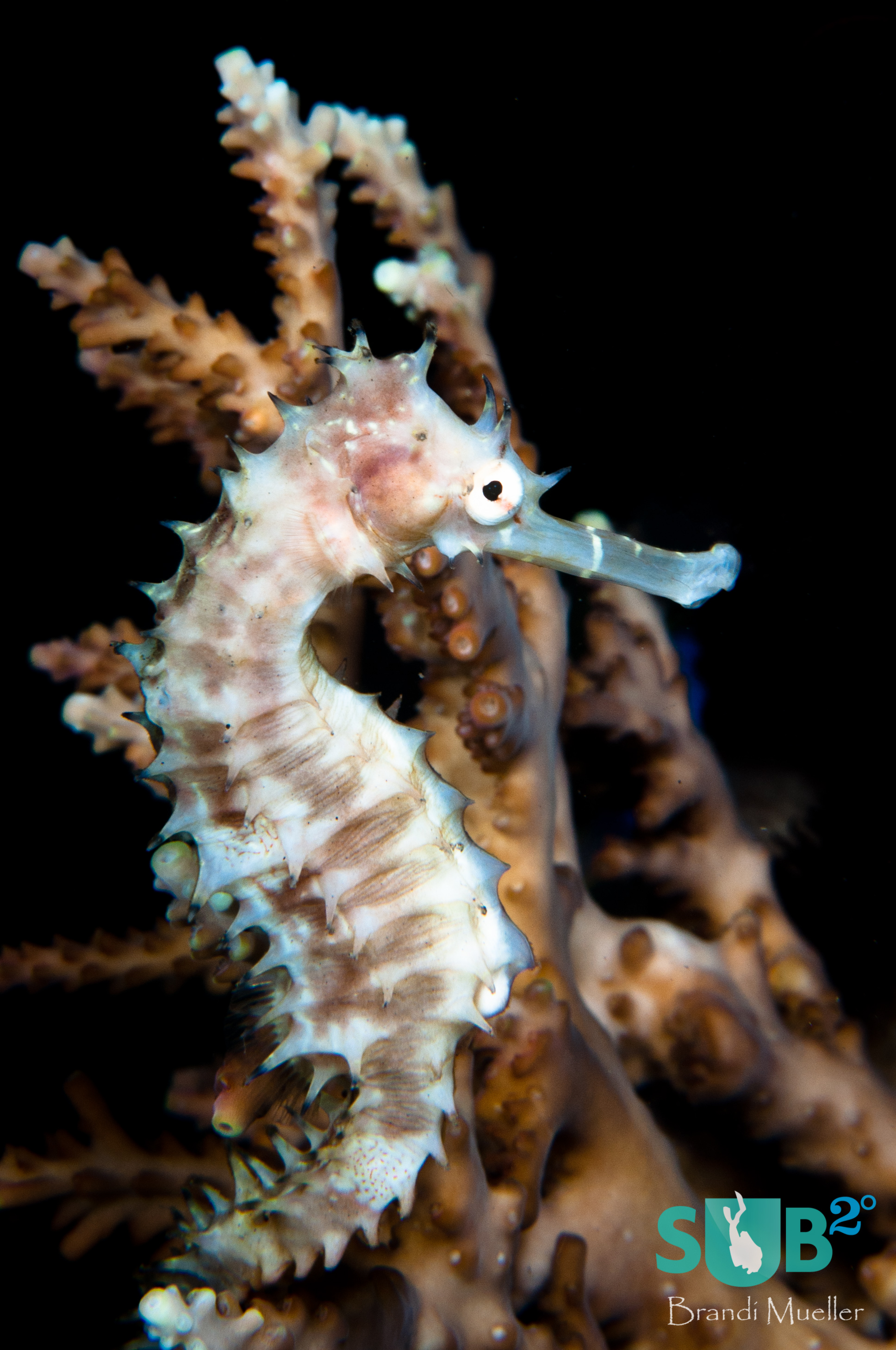 A thorny seahorse tries to blend in with surrounding hard coral.