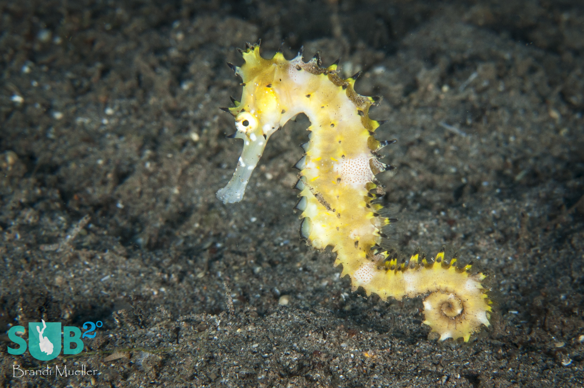Thorny seahorses, such as this one, are often removed from the ocean in great quantities to be dried for souvenirs or to be used in traditional medicines. These practices could lead to endangering the species.