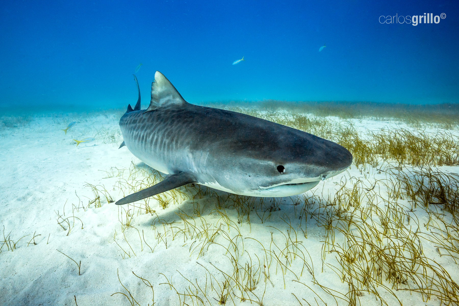 A beautiful and curious tiger shark.