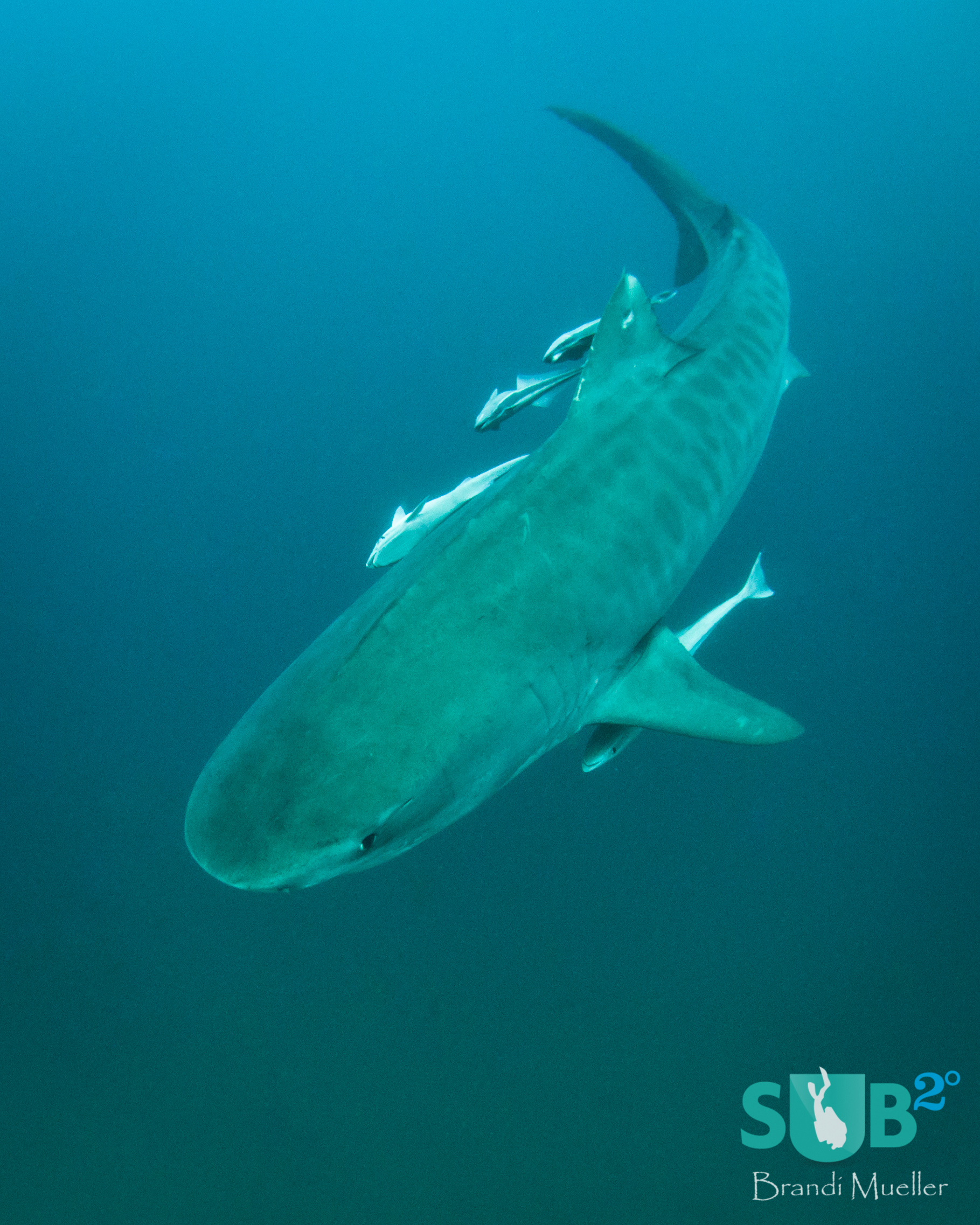 Tiger Beach is a Mecca for tiger sharks. You'll find them gracefully circling around you.