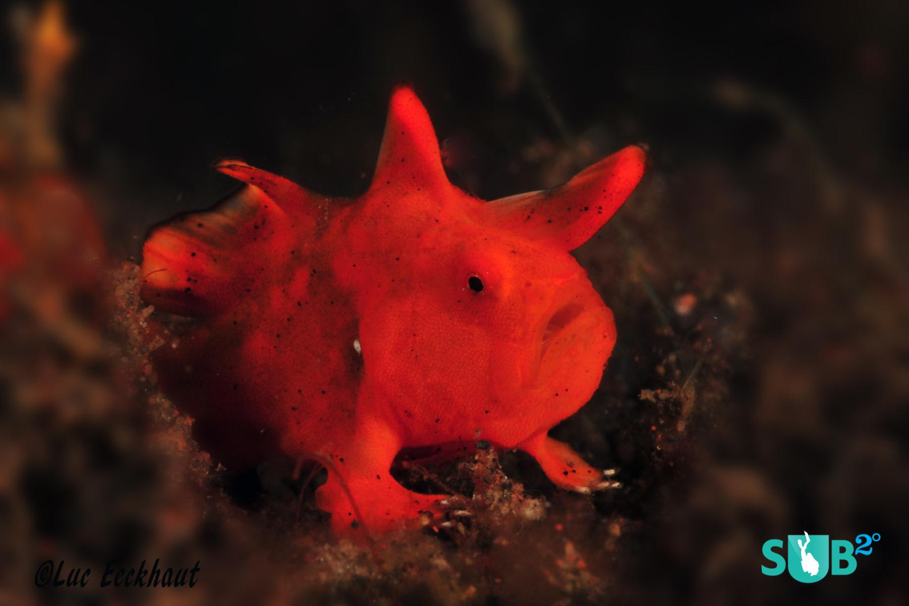Frogfish can change into different colours and are difficult to spot, but here's a little red one I spotted.  (Nikon D300s - 1/60sec - #40 - 105mm lens)