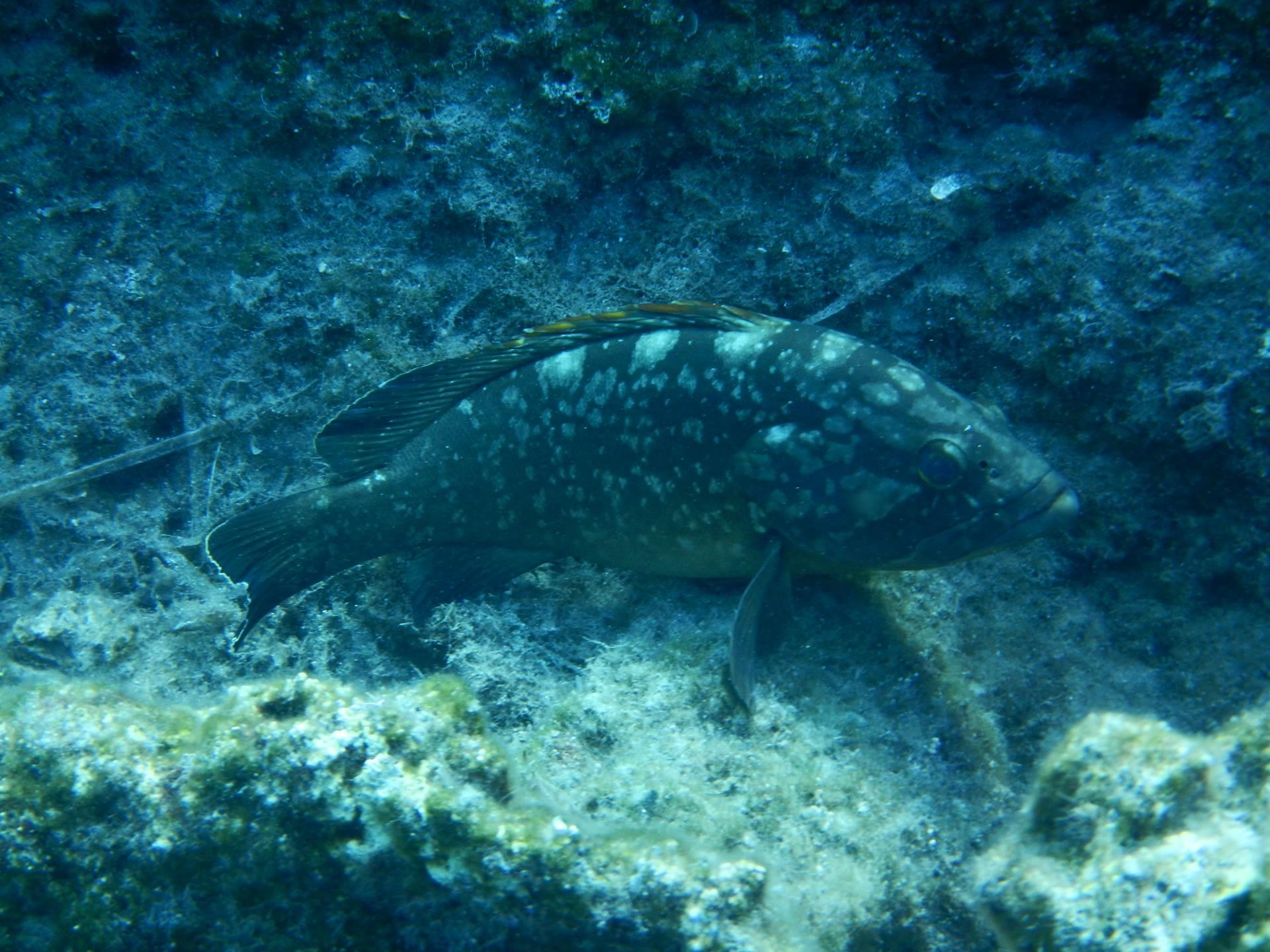 Dusky Grouper- Epinephelus marginatus at Skala Kefalonia Greece