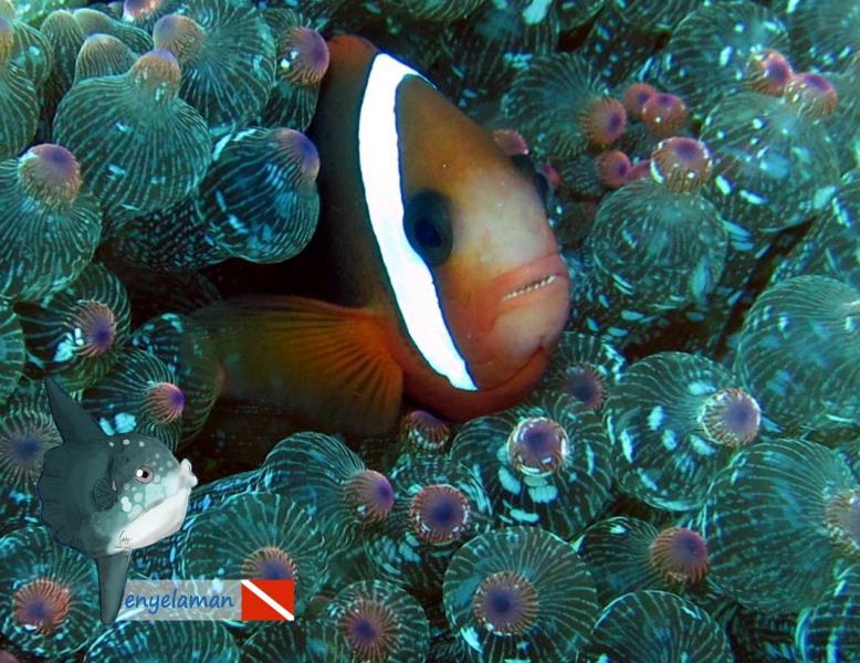 TitleTomato Clownfish