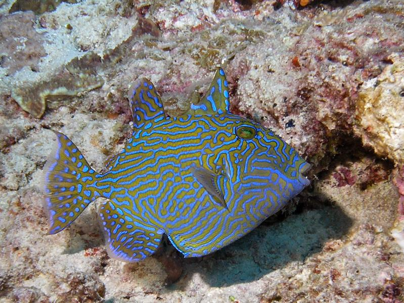 Triggerfish Rippled M