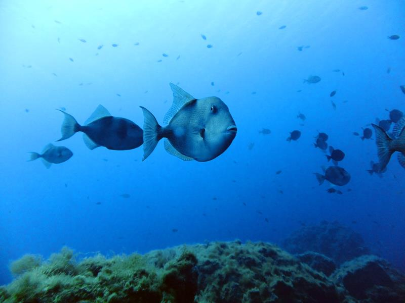 Triggerfishes