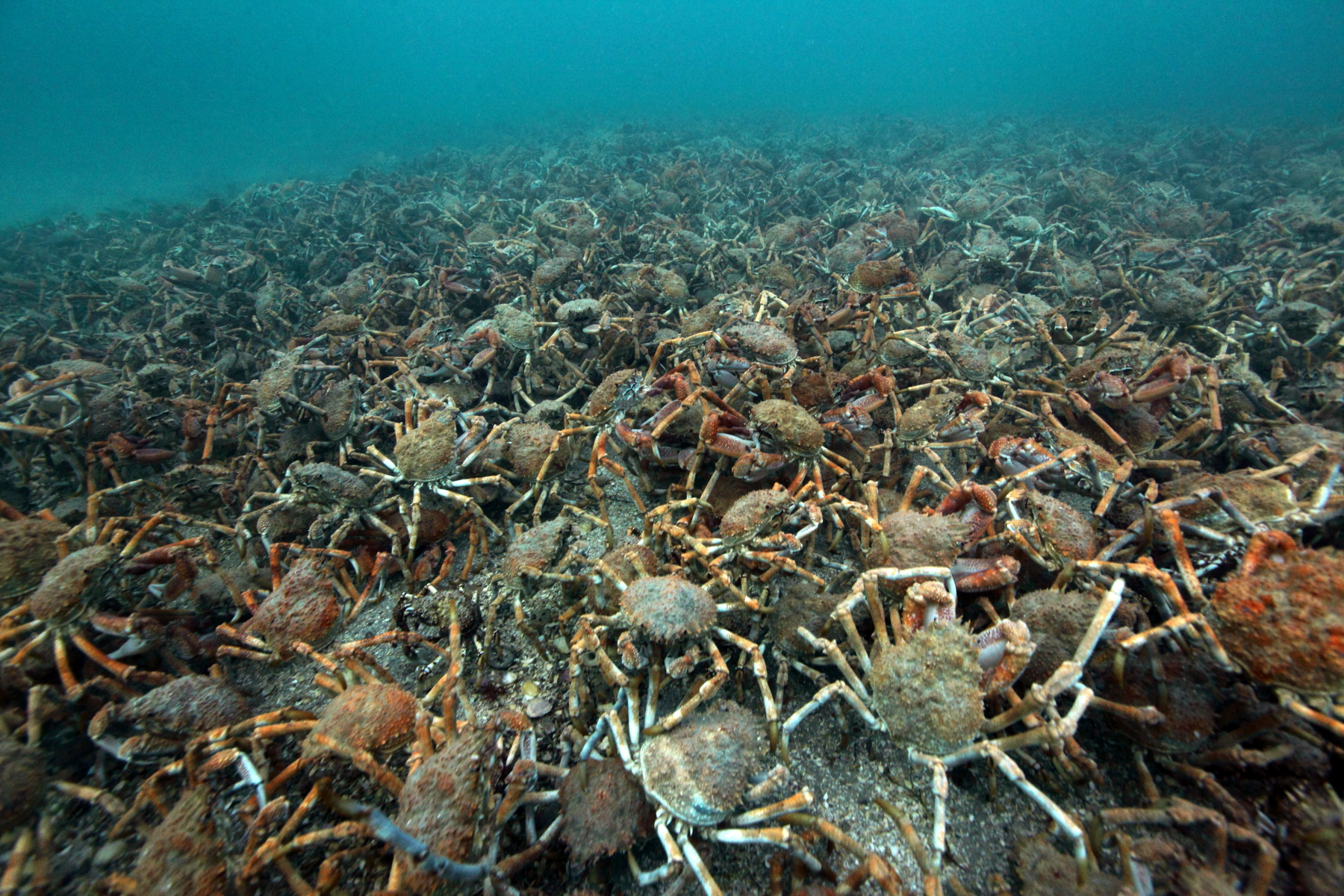 A cast of crabs. Spider crabs gather on mass in Port Phillip Bay to shed their old shells and develop a new exoskeletons. During the process the crabs are particularly vulnerable to predation as their new shells harden so they adopt the age old approach of safety in numbers. The spectacular event occurs annually, but the time of the year and location varies. This year the crabs migrated to the shallow waters of the southern Mornington Peninsula in late June and remained in the area for about a fortnight before dispersing.