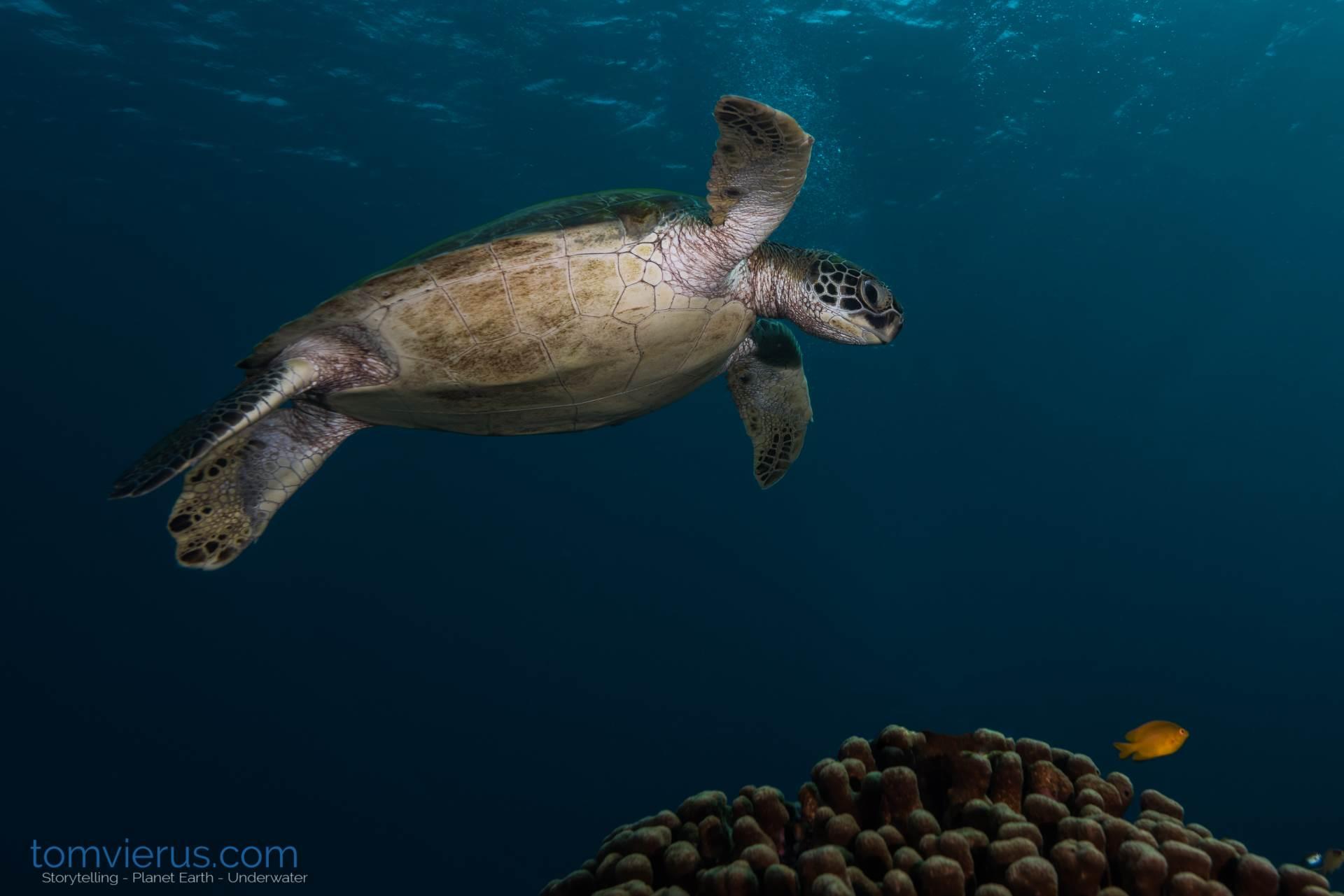 Turtle in Komodo