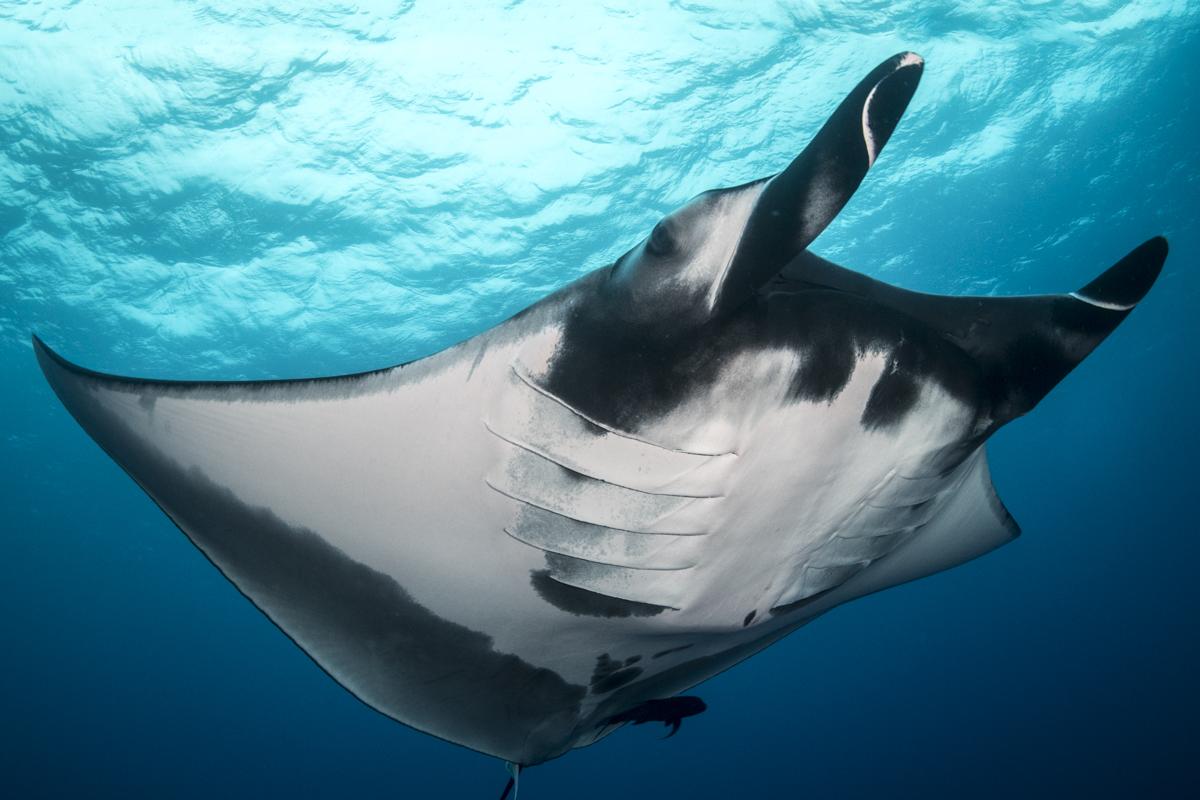 A gianta pacific manta comes in for a closer look in Socorro