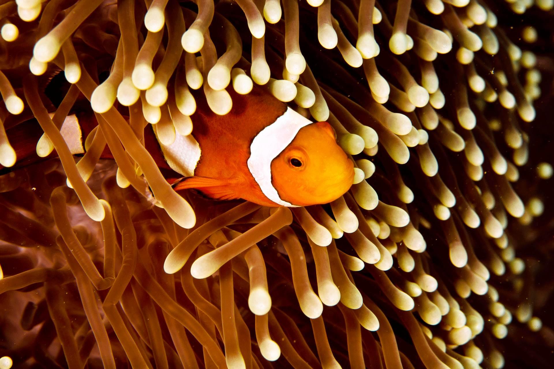 Anemone Clown Fish (Premnas biaculeatus, female)