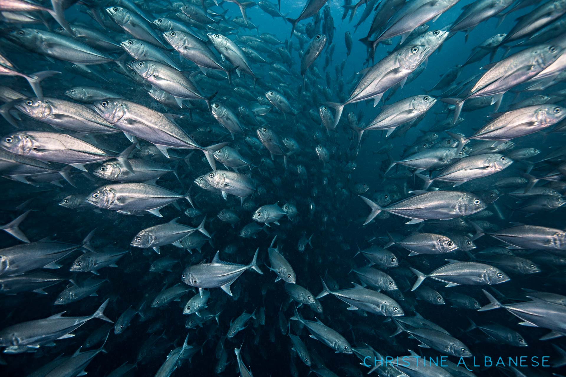 The middle of a massive school fish is one of my favourite places to be! There is no feeling quite like being completely and utterly enveloped by thousands of silvery busy-bodies. ❤️ a school of big-eye travelly has been at Sailrock for years now... I always go looking for them.   #underwater #underwaterdiving #underwaterphotography #ds160 #ikelite #canon6d #trevally #schooloffish #sailrock #kohtao #thailand #scuba #scubadiving #freedom #surrounded #countless #happiness #deepblue #padi