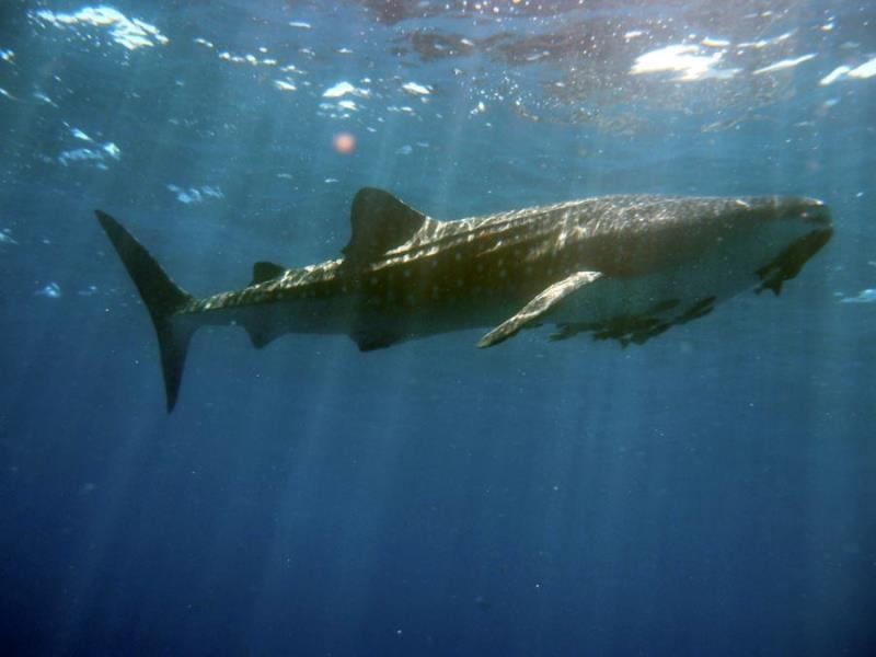 whale shark 3