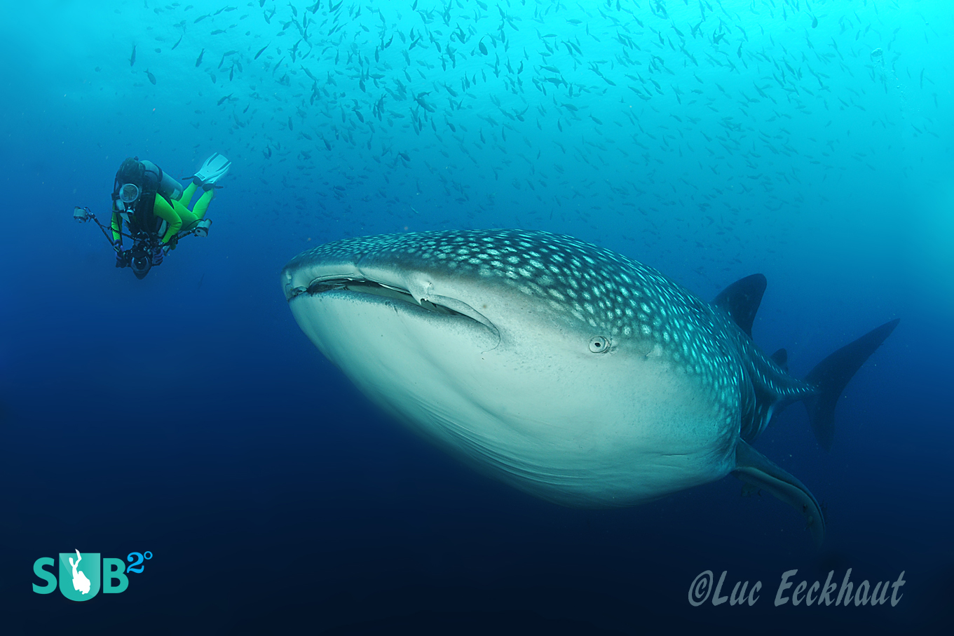 The biggest of all fish, the 20 ton whale shark.