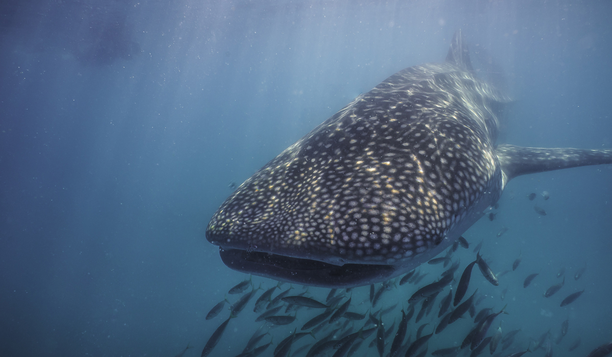 Whale Shark in Mexico, by Jack Connick