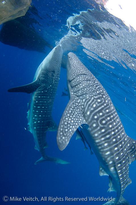 Whalesharks feeding
