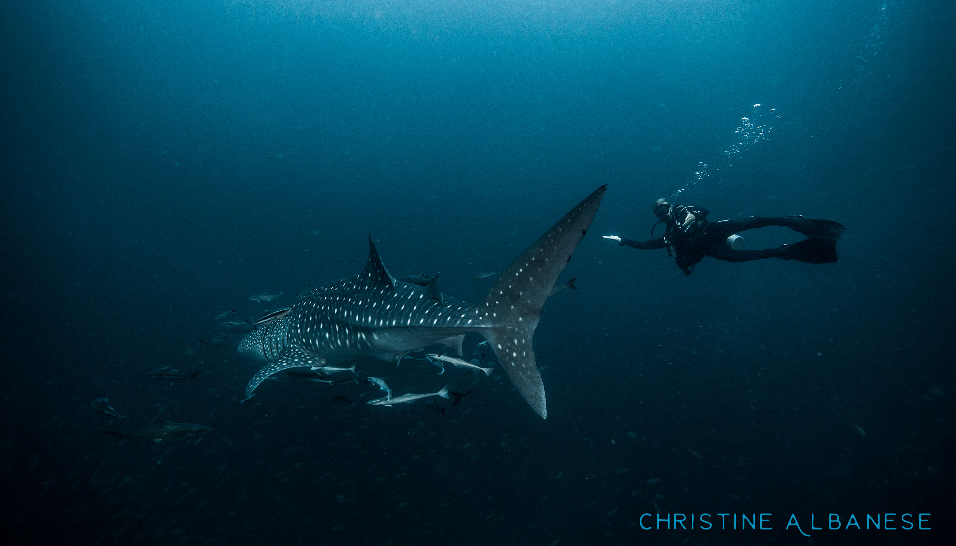 I was a lucky girl in 2015 and saw 5 whale sharks over the course of the year (AND had my camera for each encounter)! This was the last one I saw in November and Josh is such a lucky guy to have gotten himself a photo with one! He was so happy he cried 😂  When will I get a photo of myself with such an awesome creature?! 😤 #photographerproblems