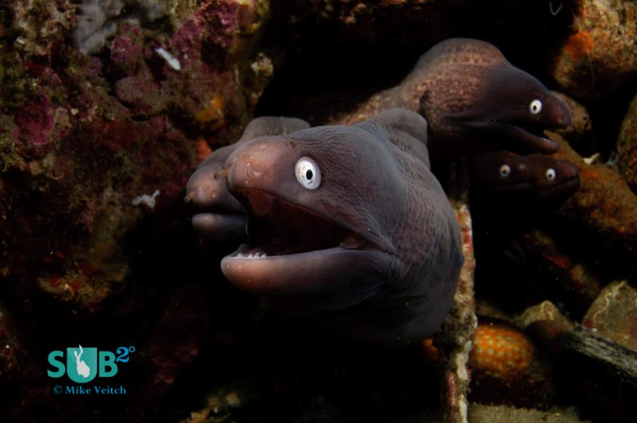 White Eye Moray Eels