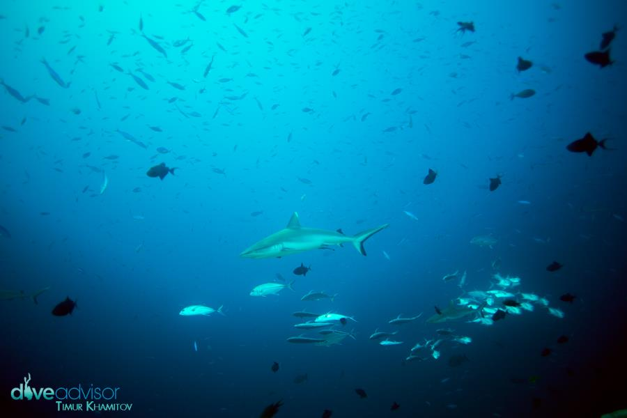 White Tip Sharks, Miyaru Kandu