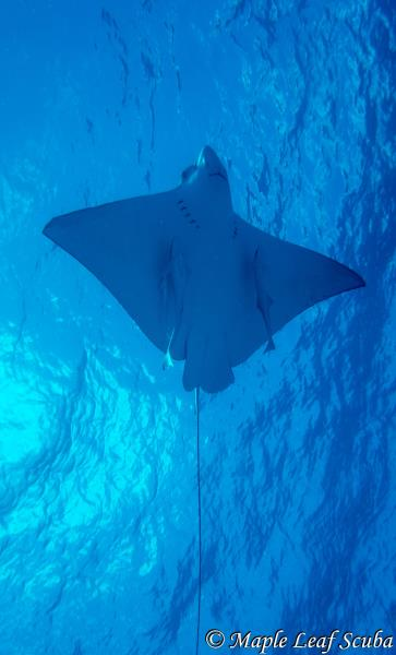 White-spotted eagle ray ascending to the surface