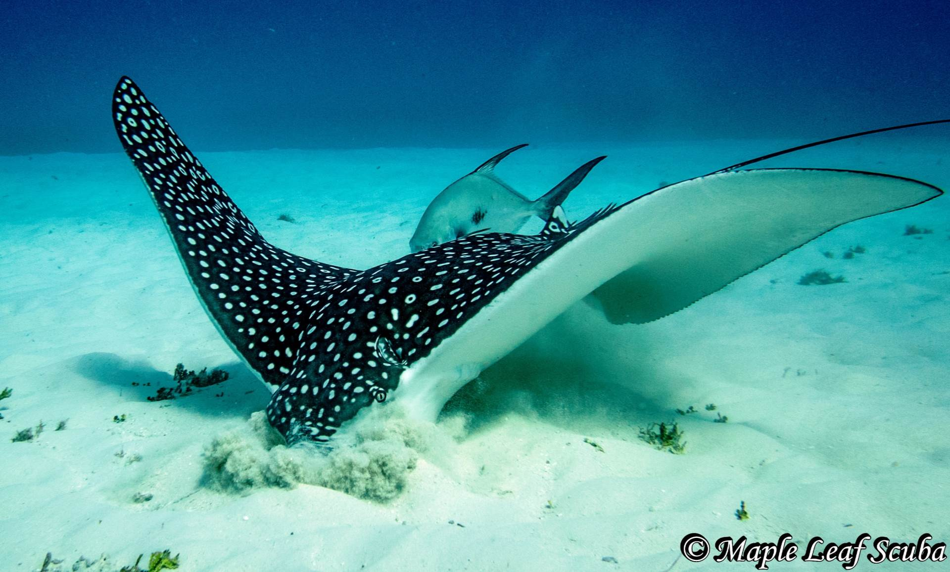 A lovely white-spotted eagle ray