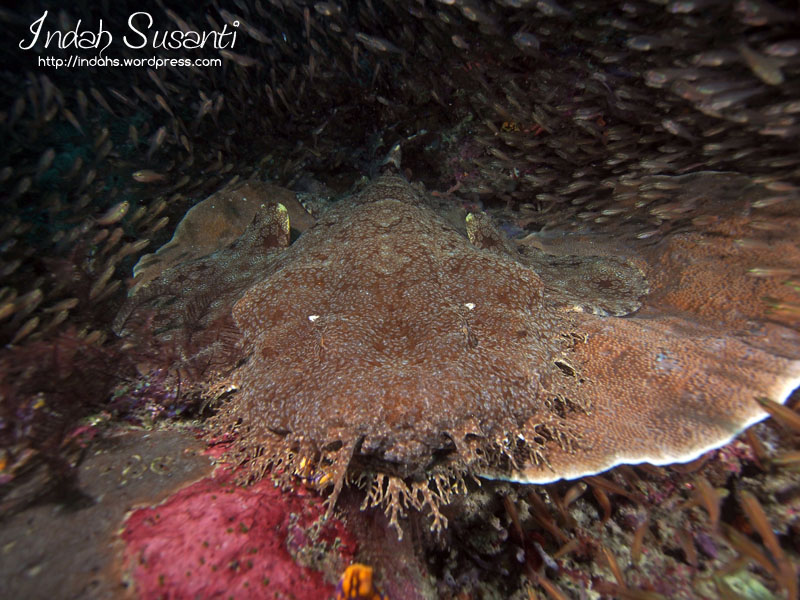 My blog post on Raja Ampat Night Diving and wobbegong at night dving video included http://indahs.com/2014/07/08/raja-ampat-night-diving/