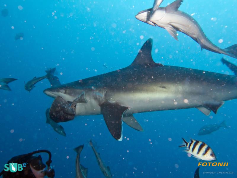 Wrangler Drawing Shark Closer