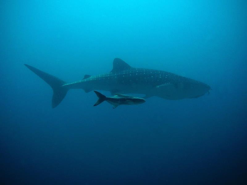www.cruise-maldives.com whale sharks