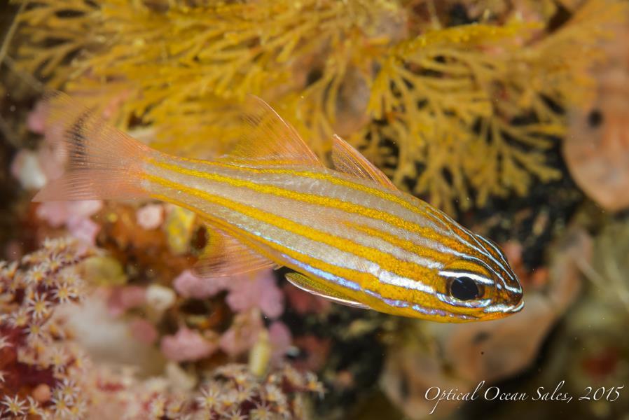 Yellow Fish-19