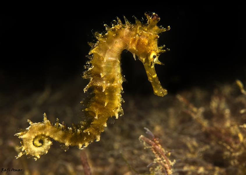Yellow Sea Horse