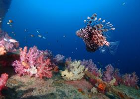 Lionfish gliding over the multi couloured soft corals at Shark Point, Phuket, Thailand.