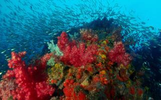 Dazzling red soft corals in Phuket, Thailand.