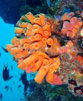 Bright orange hard corals at Koh Racha Yai Island, Phuket, Thailand.